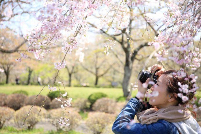Lễ hội hoa anh đào ở Jeju